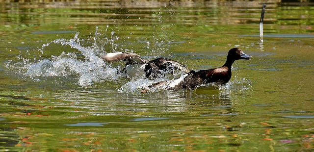 duck swimming at speed