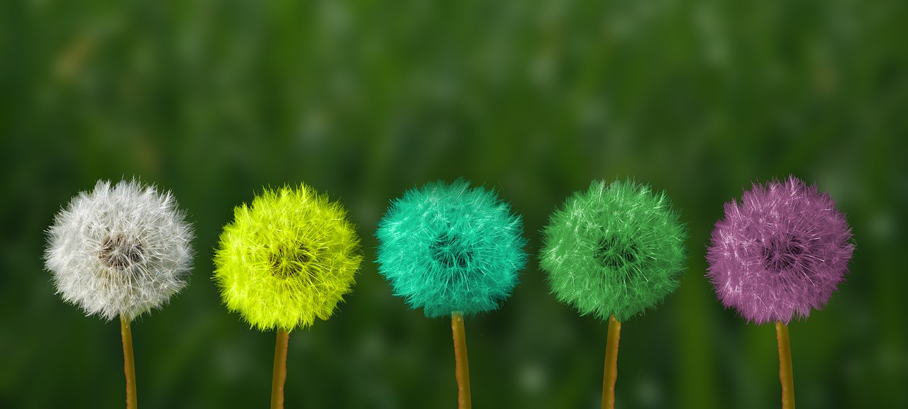 Multi-coloured dandelion clocks